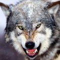 Bared_Teeth__Grey_Wolf