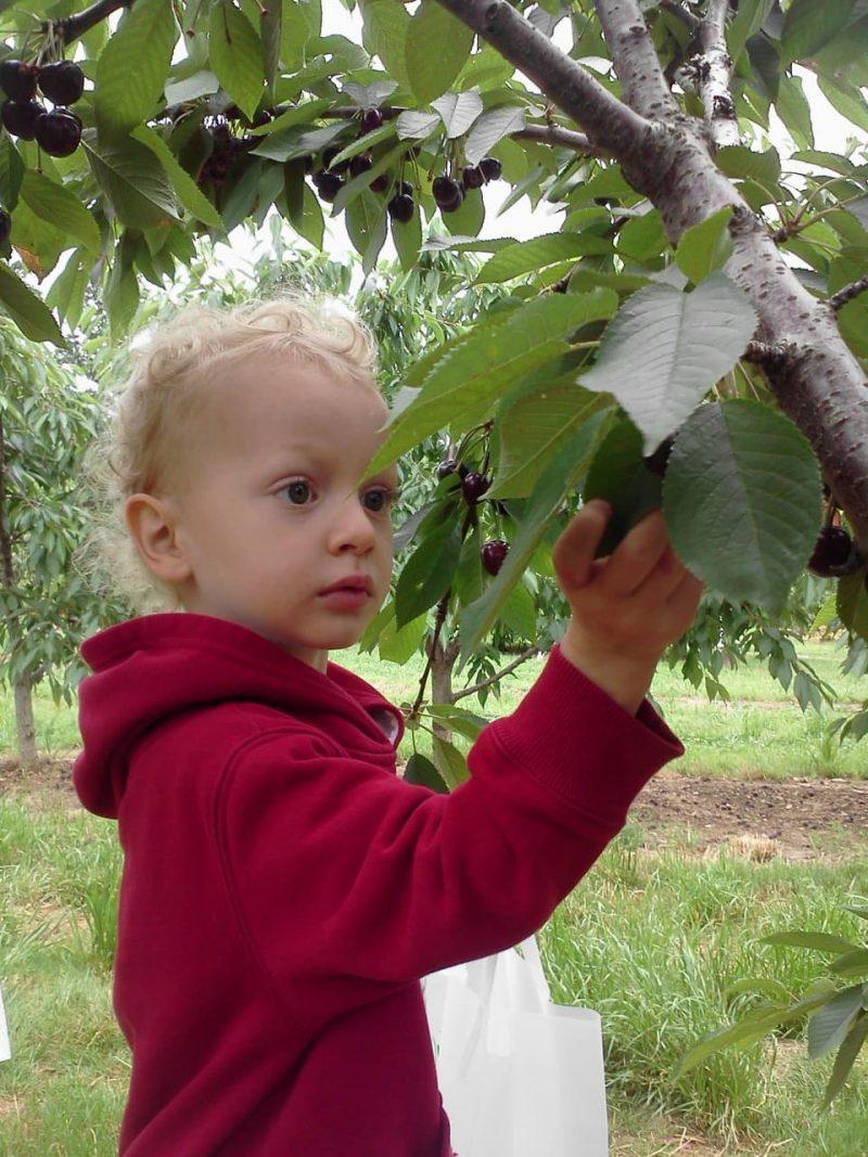 Felix picking cherries