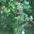 Black Raspberries from Gimme the Good Stuff